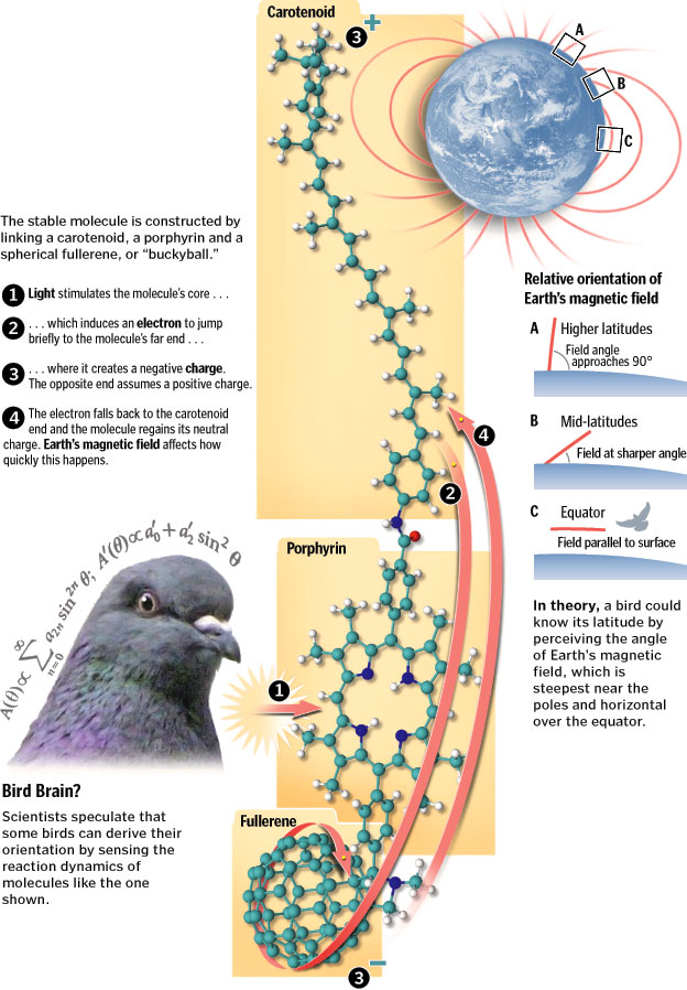 bird migration chem compas